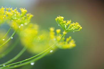 Чи все ми знаємо про користь насіння кропу?